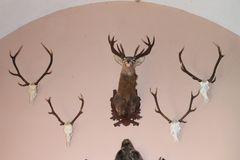 Trophy of deers. Trophies of deers - head and skulls with antlers hanging on wall in trophy room on Castle Houska, Czech Republic Royalty Free Stock Photos