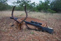 Trophy adult male Impala antelope and rifle after hunting. In South Africa. Impala and carbine after a Safari in Africa stock photography