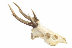 Trophy antlers. Royalty Free Stock Images