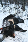 Trophy black Asian Himalayan bear with a gun after hunting in the winter Royalty Free Stock Photos