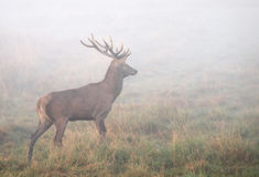 Trophy Buck. Every hunter's dream is a trophy buck Royalty Free Stock Images