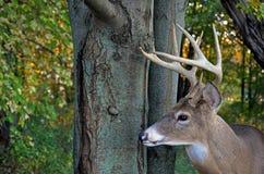 Trophy Buck. Big buck in autumn woods Royalty Free Stock Photos