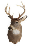 Trophy Buck. A mature whitetailed buck isolated on a white background Royalty Free Stock Photo