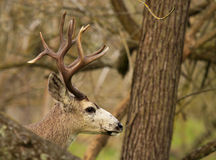 Trophy Buck Peeking Out royalty free stock photography