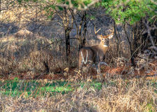 Trophy Buck Posing. Royalty Free Stock Images