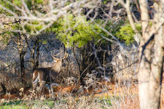 Trophy Buck Walking Away. Big White-tail Buck walking through the woods during the Wisconsin deer hunting season Stock Images