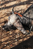 Trophy Cape Buffalo after hunting with a rifle Stock Images