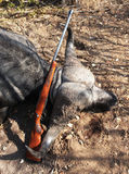 Trophy Cape Buffalo with a rifle after hunting in Zimbabwe Stock Photo