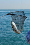 Trophy. Caught sea catfish, wound up in the net. Water area of the Persian Gulf. Umm al Quwain. United Arab Emirates stock image