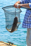 Trophy. Caught sea catfish, wound up in the net. Water area of the Persian Gulf. Umm al Quwain. United Arab Emirates royalty free stock photography