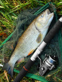 Trophy Chub. Picture of a trophy fish. The Big European Chub (Squalius cephalus) on a landing net stock photos