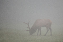 Trophy-class Bull Elk Royalty Free Stock Photos