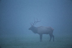 Trophy-class Bull Elk Royalty Free Stock Images