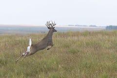 Trophy Deer stock image