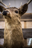 Trophy Deer Mount Royalty Free Stock Photos