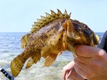 Trophy fish Royalty Free Stock Image