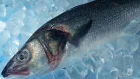 Trophy fish on ice. Large fish packed in ice stock video