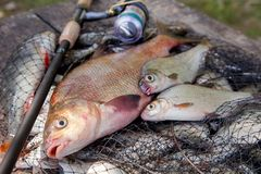Trophy fishing. Big freshwater bronze bream or carp bream, white bream or silver bream and fishing rod with reel on landing net. Fishing concept, trophy catch royalty free stock photo