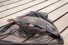Trophy fishing. Big freshwater pike lies on black fishing net. Freshwater Northern pike fish know as Esox Lucius lying on black fishing net. Fishing concept stock photos