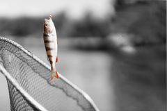Trophy fishing. Small goldfish on fishing line on black and white background. Concept luck, fortune, case, finance. Trophy fishing. Small bright goldfish on Royalty Free Stock Photo