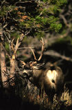 Trophy Mule Deer Buck. A trphy mule deer buck peering out from under some pines Stock Photography