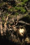 Trophy Mule Deer Buck Stock Photography