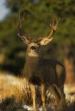 Trophy Mule Deer Buck. A trophy sized mule deer buck standing head on Royalty Free Stock Photos