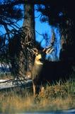 Trophy Mule Deer Buck Royalty Free Stock Photos