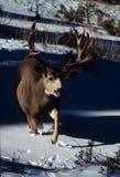 Trophy Mule Deer Buck. Huge non typical mule deer buck walking through snow Stock Photos