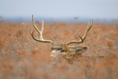 Trophy Mule Deer Buck Bedded Royalty Free Stock Photos