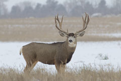 Trophy Mule Deer Buck Broadside Royalty Free Stock Photos