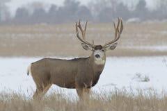 Trophy Mule Deer Buck Broadside. A large mule deer buck standing in a snow covered field Royalty Free Stock Photos