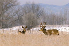 Trophy Mule Deer Buck and Doe. A big mule deer buck in rut checking out a doe on a frosty morning Stock Photos