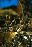 Trophy Mule Deer Buck Portrait. Huge non typical mule deer buck portrait on the edge of the brush Stock Photo