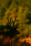 Trophy Mule Deer Buck Silhouette Stock Photos