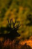 Trophy Mule Deer Buck Silhouette. A trophy mule deer buck silhouetted in early morning Stock Photos