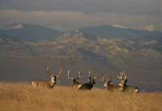 Trophy Mule Deer Bucks Royalty Free Stock Images