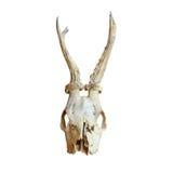 Trophy of roe deer buck Stock Photos
