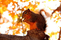 Trophy Squirrel Stock Photography
