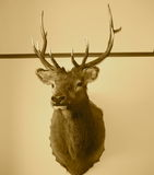 Trophy Stag Head In Sepia Stock Image