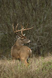 Trophy Whitetail Buck. A trophy whitetail buck looking back over his shoulder Stock Images