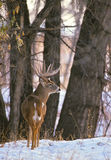 Trophy Whitetail Buck Royalty Free Stock Photography