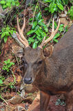 Trophy Whitetail Buck Deer Stag. Image of Trophy Whitetail Buck Deer Stag Royalty Free Stock Photo