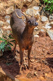 Trophy Whitetail Buck Deer Stag Stock Photo