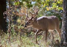 Trophy Whitetail Deer stock image