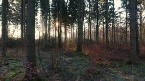 Tropiący trutnia strzelał światło słoneczne lub wschód słońca migocze przez drzew las przy zmierzchem zbiory
