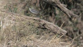 Tropić strzał usambiro barbet w masai Mara gry rezerwie zdjęcie wideo