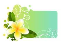 Tropic banner with frangipani. Tropic light blue banner with frangipani Royalty Free Stock Photos