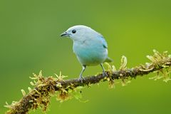 Tropic bird from Costa Rica. Blue-gray tanager on branch in green vegetation. Wildlife scene from green forest habitat, bird sitti. Ng on the branch. Bird travel stock image