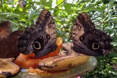 Tropic Butterflies, eating Banana&Orange. Tropic Butterflies eating Banana&Orange, Butterfly Village among varied greens and planets. Istanbul Butterfly Village royalty free stock photos